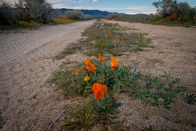 California Poppies in the road