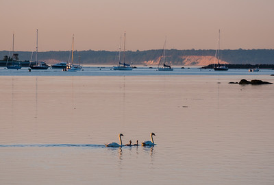 Swan Family Out At Dawn On Long Island Sound, Stamford, CT