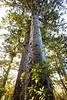 Kauri tree trunks and canopy, Herekino Forest, Northland