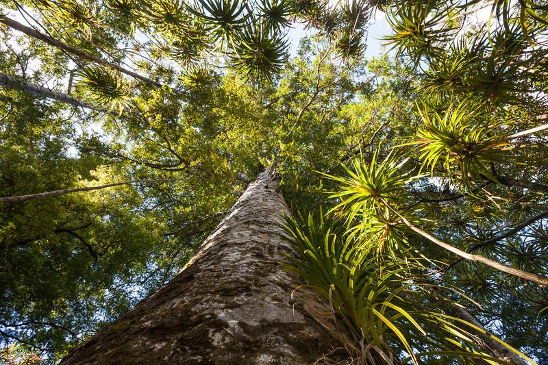 Kauri tree trunk and canopy, Herekino Forest, Northland
