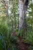 Kauri Trunk, Herekino Forest