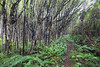 Regenerating forest and ferns on the Te Araroa Trail, Longwood Forest, Southland
