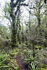 Southern beech forest on Longwood Range, Te Araroa Trail, Southland