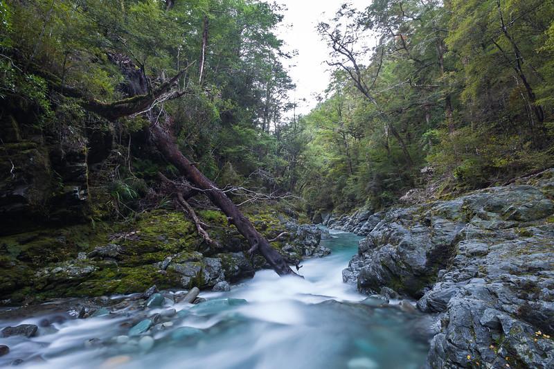 Beech forest, Wairoa River, Mount Richmond Forest Park