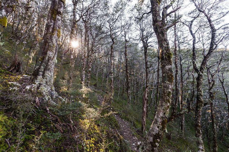 Montane beech forest, Mount Richmond Forest Park