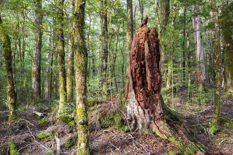 Forest interior, Wairoa Valley, Mount Richmond Forest Park