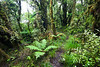 Hihikiwi track, Pirongia Forest Park