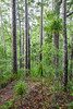 Young kauri (Agathis australis) forest, Pukatea Ridge, Puketi Forest, Te Araroa Trail, Northland