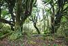 Forest interior and track, Pureora Forest, Hauhungaroa Range