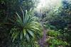 Mountain cabbage tree (Cordyline indivisa), Pureora Forest, Hauhungaroa Range