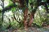 Trunk of tree fuscia (Fuchsia excorticata), Pureora Forest, Hauhungaroa Range
