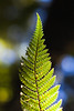 Fern frond, Pureora Forest Park, Waikato/King Country