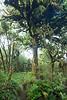 Halls totara and forest interior, Pureora Forest, Hauhungaroa Range