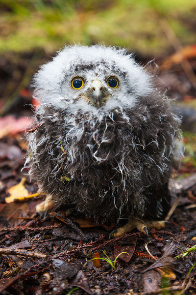Ruru (morepork) chick, Stewart Island, Rakiura