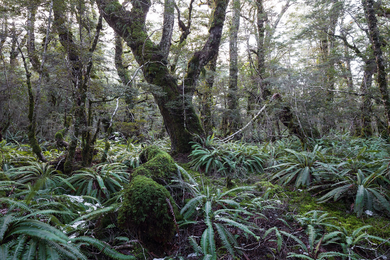 Beech forest and ferns, Takitimu Conservation Area
