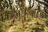 Tramper descending through goblin forest on Marchant Ridge. Southern Crossing.  Tararua Range.