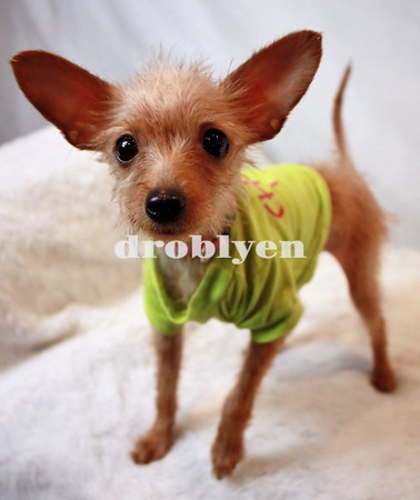 OTPR Chihuahua Playgroup