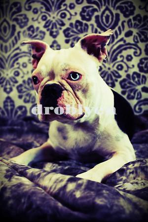 Boston Terriers Play Date 6-30