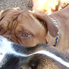 ROCKY (french mastiff / dogue de bordeaux) just eyes