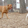 ROCKY (french mastiff), LEXIE (rat terrier)