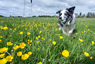 Cassie Striding Through Buttercups