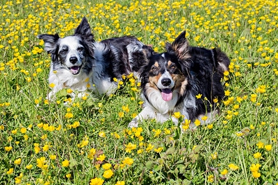 Cassie & Bess Lying In Buttercups