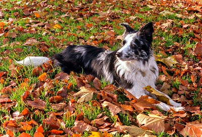 Cassie Amongst Autumn Leaves