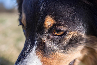 Collie Eye