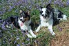 Cassie and Bess in the Rannerdale Bluebells