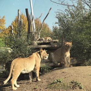 Löwenanlage im Wiener Tiergarten