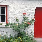 "Print title:  ""  IRISH ROSE COTTAGE  """