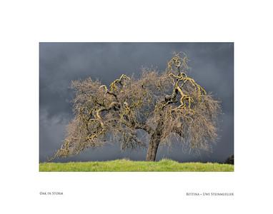 Oak in Storm