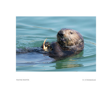 Feasting Seaotter