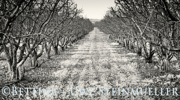 Frosted Orchard