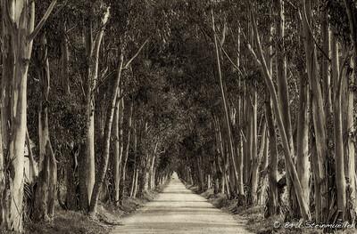 Eucalyptus Alley