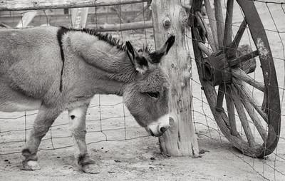 Donkey (5D2)