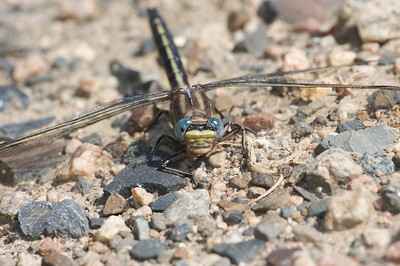 Dusky Clubtail (Gomphus spicatus) [July 6; Gunflint Trail, Superior National Forest, Cook County, Minnesota]