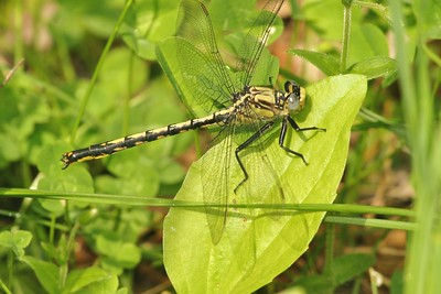 The male Horned Clubtail (Ariogomphus cornutus) have widely forked claspers with black tips [June 15; Douglas County, Minnesota]