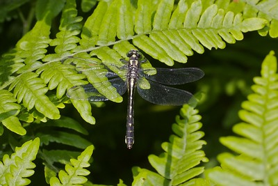 "Unlike the male, female Mustached Clubtails (Gomphus adelphus) have an unclubbed abdomen—thick and straight. They also have the green eyes, yellow face with thick black ""mustache and goatee""  [July 7; Cross River, Gunflint Trail, Superior National Forest, Cook County, Minnesota]"