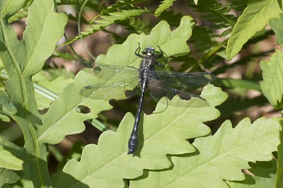 Clear, clean and cold is how Mustached Clubtails (Gomphus adelphus) like their rivers [July 6; Brule River, Gunflint Trail, Superior National Forest, Cook County, Minnesota]