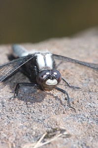 "Chalk-fronted Corporals (Ladona julia) are named for their white ""corporal"" stripes on top of the thorax [July 6; Brule River, Gunflint Trail, Superior National Forest, Cook County, MInnesota]"