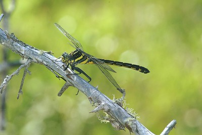 The Dragonhunter (Hagenius brevistylus) is a highly-sought monster of a dragonfly that will even prey on other large dragonflies. It can be nearly 3 1/2 inches long [July 10; Ely, Minnesota]