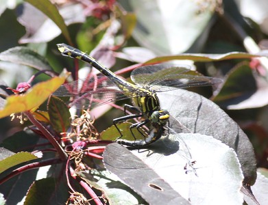 Dragonhunter Hagenius brevistylus eating another dragonfly Mom and Dad's house New Hope MN IMG_0020470