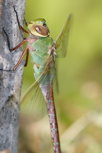 The Common Green Darner (Anax junius) is a spectacular dragonfly. Many migrate over a thousand miles to Texas in fall. Their offspring return north the next summer [August 16; Hawk Ridge, Duluth, Minnesota]