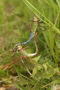 The Common Green Darner (Anax junius) is a spectacular dragonfly. Many migrate over a thousand miles to Texas in fall. Their offspring return north the next summer [June 3; Douglas County, Minnesota]