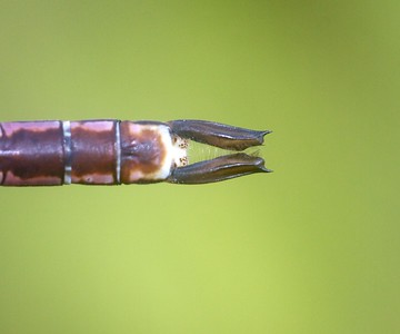 darner Common Green Darner Anax junius juvenile Wisconsin Point Superior WI IMG_8394