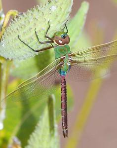 darner Common Green Darner Anax junius juvenile Wisconsin Point Superior WI IMG_8495