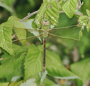 The Common Green Darner (Anax junius) is a spectacular dragonfly. Many migrate over a thousand miles to Texas in fall. Their offspring return north the next summer [September 10; Fond du Lac park, Duluth, Minnesota]