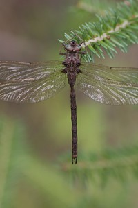 darner Fawn Darner Boyeria vinosa tributary of Cloquet River Independence MN IMG_7227