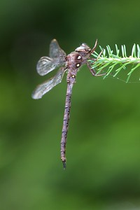 darner Fawn Darner Boyeria vinosa tributary of Cloquet River Independence MN IMG_7222